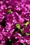 Flores da Índia no jardim Imagem de Stock Royalty Free
