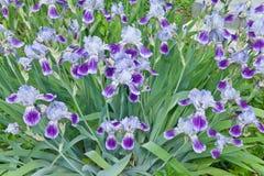 Flores da íris Foto de Stock Royalty Free