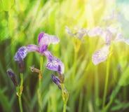 Flores da íris Fotos de Stock
