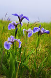 Flores da íris da bandeira azul Fotografia de Stock Royalty Free