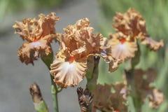 Flores da íris farpada alta 'cidade de Dodge 'no jardim ensolarado fotos de stock royalty free