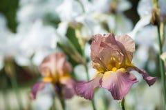 Flores da íris lilás Fotos de Stock