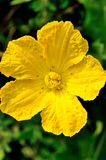 Flores da abóbora Fotos de Stock