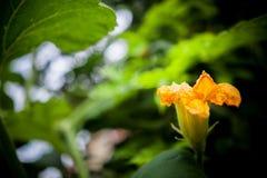 Flores da abóbora Imagem de Stock Royalty Free