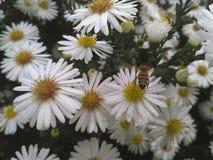 Flores da abelha da margarida imagem de stock royalty free