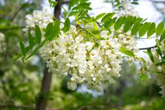 Flores da acácia da árvore da acácia Fotografia de Stock Royalty Free