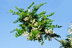 Flores da acácia Imagem de Stock
