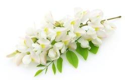 Flores da acácia Fotografia de Stock