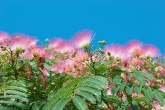 Flores da acácia (julibrissin do Albizzia) Fotos de Stock Royalty Free