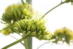 Flores da agave Imagens de Stock