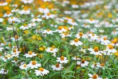 Flores da agulha espanhola no jardim Fotos de Stock Royalty Free