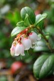 Flores da airela Fotografia de Stock Royalty Free