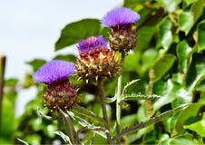 Flores da alcachofra Fotos de Stock Royalty Free
