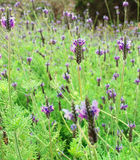 Flores da alfazema Imagem de Stock Royalty Free