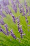 Flores da alfazema Foto de Stock Royalty Free