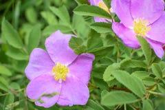Flores da alfazema com centros amarelos imagens de stock