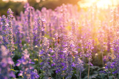 Flores da alfazema do close-up no jardim Imagem de Stock Royalty Free
