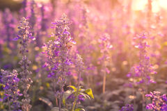 Flores da alfazema do close-up no jardim Imagens de Stock Royalty Free