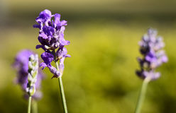 Flores da alfazema do verão Imagens de Stock Royalty Free