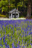 Flores da alfazema em Wellington Botanic Garden, Nova Zelândia imagens de stock royalty free