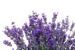 Flores da alfazema isoladas no fundo branco foto de stock