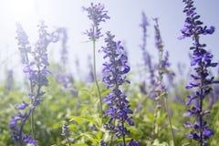 Flores da alfazema na flor Imagens de Stock