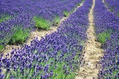 Flores da alfazema no campo Fotografia de Stock Royalty Free