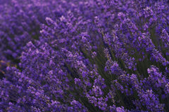 Flores da alfazema no campo da alfazema Foto de Stock Royalty Free