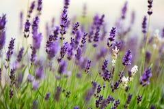 Flores da alfazema no campo no por do sol Fotografia de Stock Royalty Free