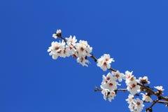 Flores da amêndoa fotografia de stock
