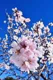 Flores da amêndoa imagem de stock