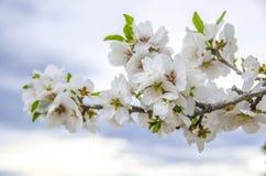 Flores da amêndoa fotos de stock