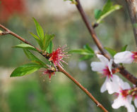 Flores da amêndoa após a gota da pétala Foto de Stock