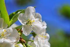 Flores da amêndoa, flores da mola Imagem de Stock