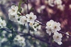 Flores da amêndoa, flores da mola Fotografia de Stock Royalty Free