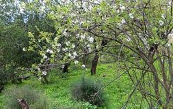 Flores da amêndoa na natureza fotos de stock royalty free