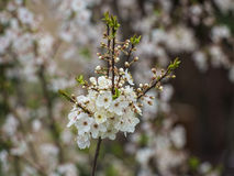 Flores da ameixa Fotografia de Stock