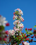 Flores da ameixa Fotografia de Stock Royalty Free