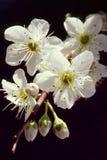 Flores da ameixa - começo novo Fotos de Stock