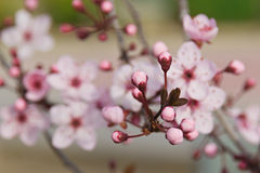 Flores da ameixa japonesa imagem de stock