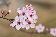 Flores da ameixa japonesa Fotografia de Stock Royalty Free