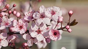 Flores da ameixa japonesa foto de stock royalty free