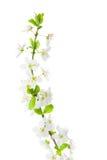 Flores da ameixa no fundo branco Fotos de Stock