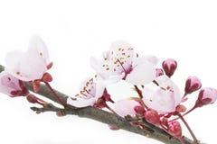 Flores da ameixa ou do Myrobalan de cereja imagens de stock royalty free