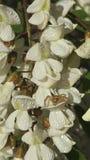 Flores da aranha e dos locustídeo pretos Foto de Stock