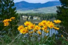 Flores da arnica no monte acima de Winthrop imagens de stock royalty free