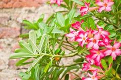 Flores da azálea Imagem de Stock Royalty Free