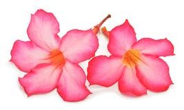 Flores da azálea fotografia de stock royalty free