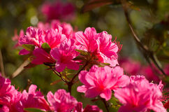 Flores da azálea Imagens de Stock