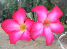 Flores da azálea Imagem de Stock